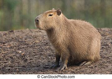 Capybara Hydrochoerus hydrochaeris resting on black mud
