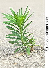 An Undesireable Weed - A weed in a cracked piece of concrete...