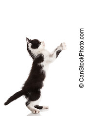 Small kitten playing standing on white background looking up