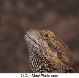 Close-up of Bearded dragons eye Pogona vitticeps
