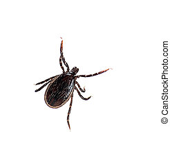 Ixodes ricinus, castor bean aka sheep tick - macro over...