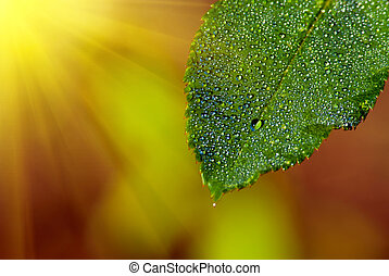 Natural composition. Leaf with drops of dew and rays of the...