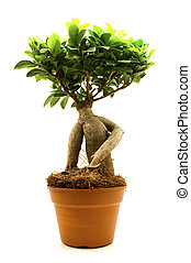 Ficus Ginseng - Ficus ginseng on a white background