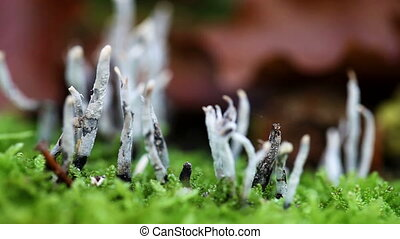 candle-snuff fungus on the forest floor - between moss