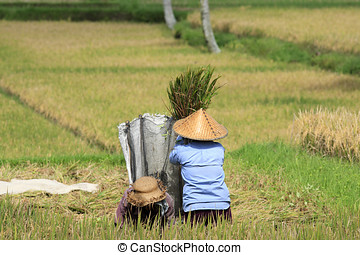 Winnowing Rice, Bali - Farmers winnowing rice in the paddy....