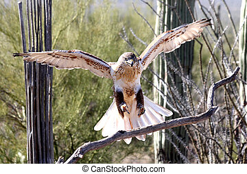 Hawk, Ferruginous - Ferruginous Hawk landing on a branch