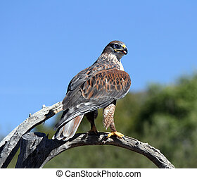 Hawk, Ferruginous - Ferruginous perched on a branch
