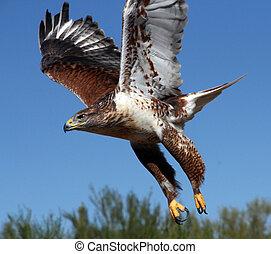 Hawk, Ferruginous - Ferruginous Hawk on the attack