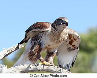 Hawk, Ferruginous - Ferruginous Hawk in the Arizona desert