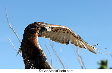 Ferruginous Hawk in flight over the Arizona desert