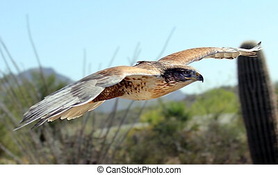 Hawk, Ferruginous - Ferruginous Hawk in flight