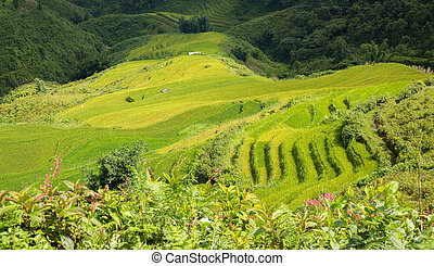 Sapa Rice plantation - Aerial view of rice terraces with...