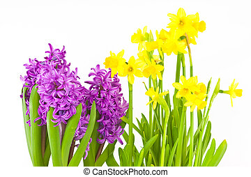 Daffodils and hyacinths on white background