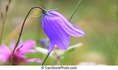 bellflower - Campanula persicifolia (Peach-leaved...