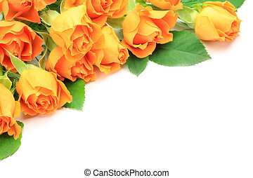 rose - I took many orange roses in a white background