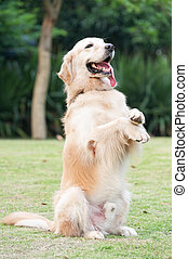 Golden retriever dog sitting on hind legs