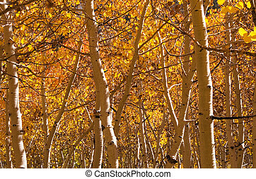 Golden Aspen Trees - golden aspen trees and trunks in the...