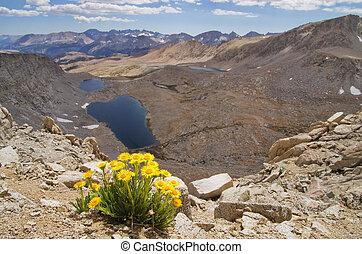 Yellow Alpine Gold Wildflowers - landscape image of Hulsea...