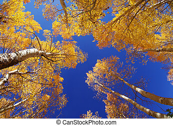 Fall Aspen Trees - wide angle view up in an aspen grove in...