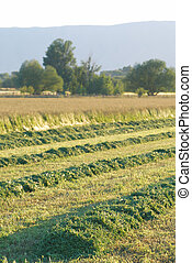 Rows of cut hay - Rows of cut alfalfa hay.