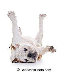 English Bulldog - English bulldog rolling over floor, laying...