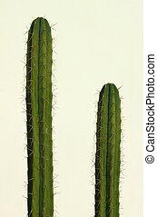 San Pedro cactus (Echinopsis pachanoi) isolated on white