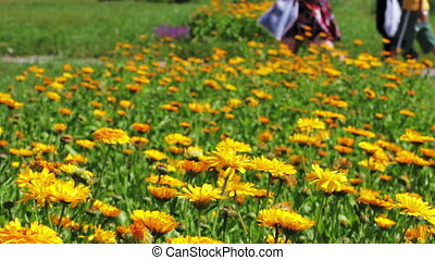 Calendula flowers and walking people in city park