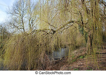 willow tree at spring