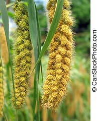 Ripe Millet Heads - -- they are still attached to their...