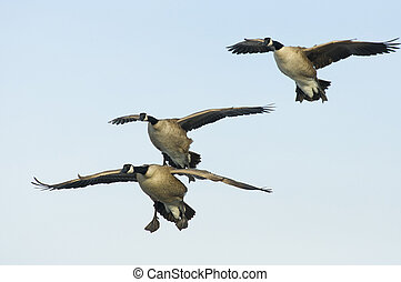 Geese ready to land - Three geese about ot land