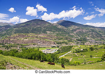 Aosta Valley. Italy - Pasturing cows in Aosta Valley....