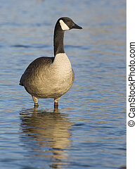 Lone Goose - Lone goose standing in shallow water