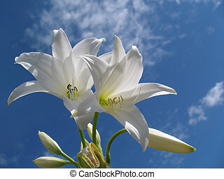 White flowers - white flowers on a sky backdrop