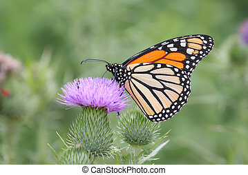 Monarch Butterfly (danaus plexippus) on Thistle flowers