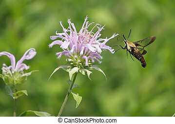 Snowberry Clearwing (a.k.a. Hummingbird or Sphinx Moth) on...