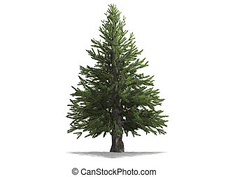 Pine - A pine tree isolated with white background
