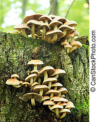 Sulphur Tuft fungus (Hypholoma fasiculare) growing on an old...