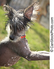 chinese crested dog on the background green grass