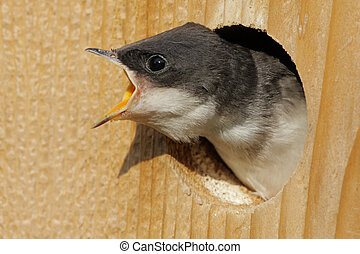 Hungry Baby Tree Swallow - Hungry Baby Tree Swallow...