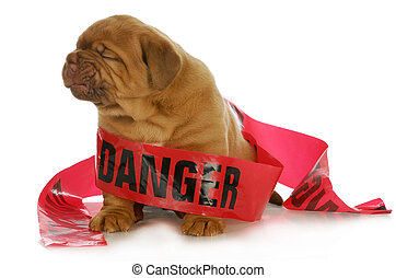 bad puppy - dogue de bordeaux puppy wrapped up in danger...