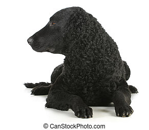 curly coated retriever laying down looking to the side on...