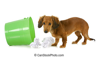 bad dog - miniature dachshund playing in the garbage...