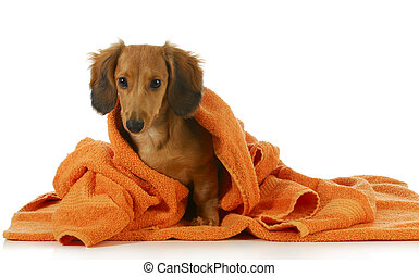 dog bath - long haired dachshund being dried off with orange...