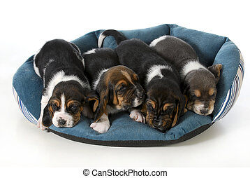 four puppies - litter of puppies - four basset hound puppies...