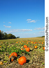 Pumpkin Patch - Colorful pumpkin patch on a bright day.