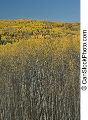Deciduous Trees in Fall - Aspen trees turning colour in...