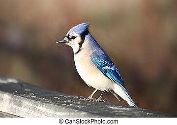 Blue Jay bird eating grains on the fence