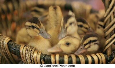 Ducklings in a basket - Lots of little ducklings seating in...
