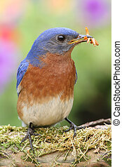 Eastern Bluebird - Male Eastern Bluebird Sialia sialis on a...
