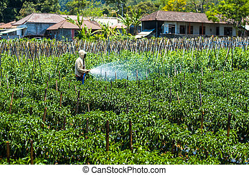 Farmer spraying pesticide on his field Bali, Indonesia